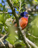 5F1A4066 Painted Bunting.jpg