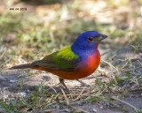 5F1A4101 Painted Bunting.jpg