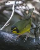 5F1A4169 Kentucky Warbler.jpg