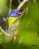5F1A3983 Painted Bunting.jpg