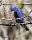 5F1A3987 Blue Grosbeak.jpg