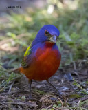 5F1A4082 Painted Bunting.jpg