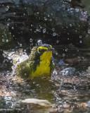 5F1A4185 Kentucky Warbler.jpg