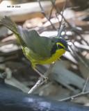 5F1A4191 Kentucky Warbler.jpg