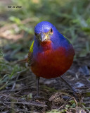 5F1A4085 Painted Bunting.jpg