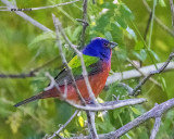 5F1A3893 Painted Bunting.jpg