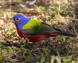 5F1A4135 Painted Bunting.jpg