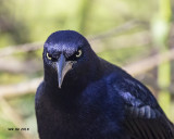 5F1A4547 Great-tailed Grackle.jpg