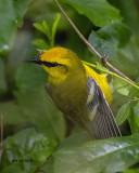 5F1A4688 Bluewing Warbler.jpg