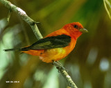 5F1A5559 Scarlet Tanager.jpg