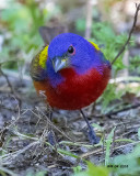 5F1A5506 Painted Bunting.jpg