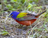 5F1A5518 Painted Bunting.jpg