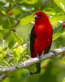 5F1A6090 Scarlet Tanager.jpg