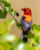5F1A6107 Scarlet Tanager.jpg
