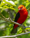 5F1A6127 Scarlet Tanager.jpg