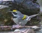 5F1A6942 Golden-winged Warbler.jpg
