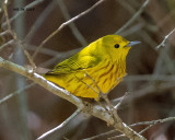 5F1A6965 Yellow Warbler.jpg