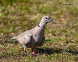 5F1A7423 Euraisian-collared Dove.jpg