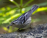 5F1A7488 Black and White Warbler.jpg