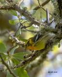 5F1A7528 Blackburnian Warbler.jpg
