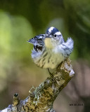 5F1A7523 Black and White Warbler.jpg