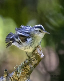 5F1A7526 Black and White Warbler.jpg