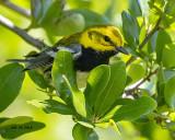 5F1A3689  a Black-throated Green Warbler.jpg