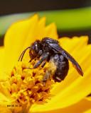 5F1A7787_Twospotted_Longhorn_Melissodes_bimaculatus.jpg