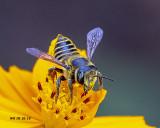 5F1A7798_Female Leafcutter Bee (genus Megachile).jpg