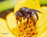 5F1A7790_Twospotted_Longhorn_Melissodes_bimaculatus.jpg