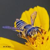 5F1A7820_Female_Leafcutter_Bee_genus_Megachile.jpg