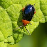 5F1A7873_Ladybug_beetle.jpg