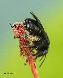 5F1A7975_Twospotted_Longhorn_Melissodes_bimaculatus.jpg