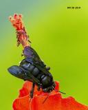 5F1A7980_Twospotted_Longhorn_Melissodes_bimaculatus.jpg