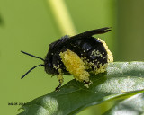 5F1A8028_Twospotted_Longhorn_Bee.jpg