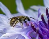 5F1A8121_tiny_bee.jpg