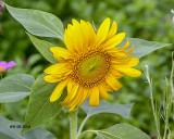 5F1A8219_Sunflower_.jpg