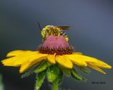 5F1A8332_Longhorn_bee.jpg