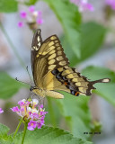 5F1A8467_Giant_Swallowtail_.jpg