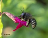 5F1A8470_Horseflylike_Carpenter_Bee_.jpg