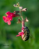 5F1A8492_Horseflylike_Carpenter_Bee.jpg