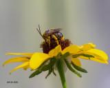 5F1A8519_Longhorn_Bee_.jpg