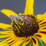 5F1A8558_Longhorn_Bee_.jpg