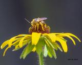 5F1A8578_Longhorn_Bee_.jpg