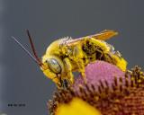 5F1A8626_Longhorn_Bee_.jpg