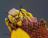 5F1A8637_Longhorn_Bee_.jpg