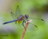 5F1A8651_Blue Dasher (Pachydiplax longipennis)