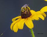 5F1A8898_Longhorn_Bee_.jpg