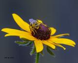 5F1A8919_Longhorn_Bee_.jpg