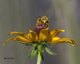 5F1A9064_Longhorn_Bee_.jpg
